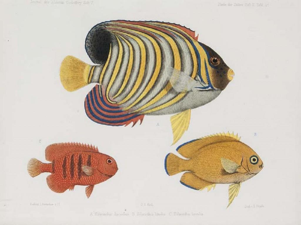 Albert Günther - Andrew Garrett's Fische der Südsee. Heft I, II, VI, VII u. IX, Hamburg, L. Friederichsen, 1873-1910