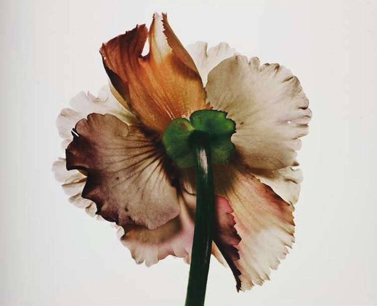 """Irving Penns pigmentprint från 2007, """"Tuberous Begonia"""" från New York, 1973 har ett utrop på 30-40 000 pund hos Phillips i London"""