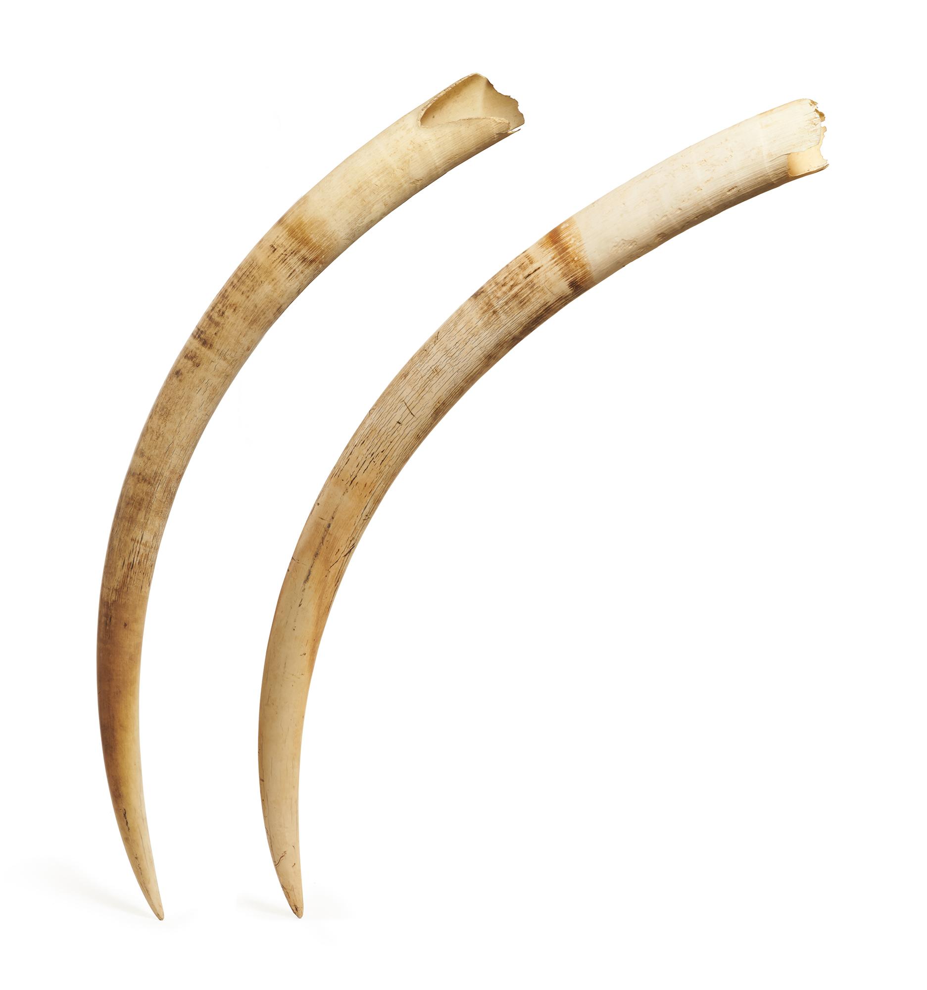 Importante paire de défenses d'éléphant d'Afrique en ivoire, Loxodonta africana, Cameroun. Métayer