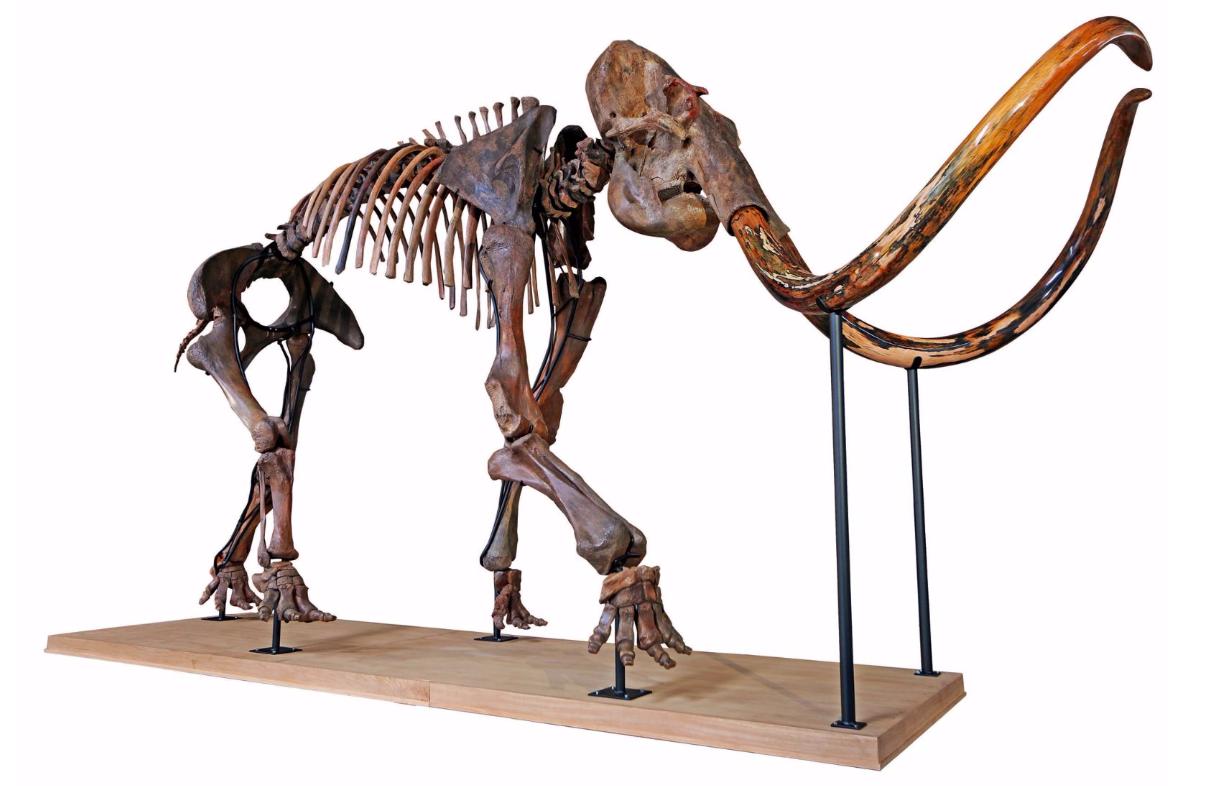 Rare squelette complet de mammouth, Mammuthus Primigenius, Pléistocène tardif, Sibérie, Russie