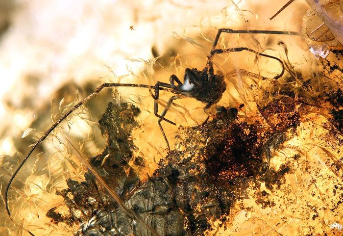Baltischer Bernstein mit Inklusion einer Spinne, Baltische Küste, Eozän