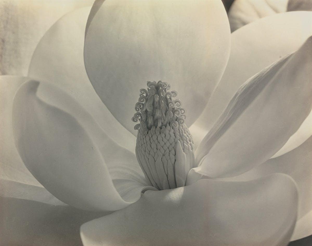 "Imogen Cunningham, ""Magnolia Blossom"" år 1925. Foto: Christie's."