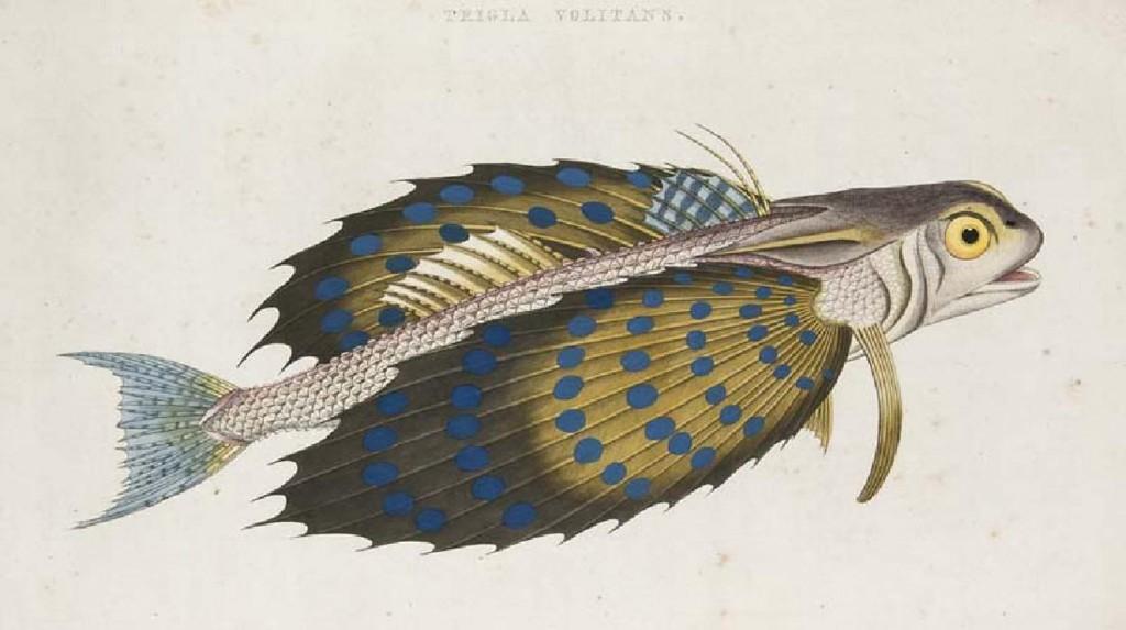 (M.E. Bloch) - Afbeelding en Beschryving van in- en uitlandsche Visschen..., Amsterdam, J.C. Sepp & Zoon, um 1800