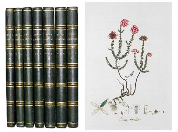 """Links: Die seltene Zweitausgabe von """"Flora Londinensis"""" in 7 Bänden von 1821 Rechts: Kolorierter Kupferstich aus Curtis' """"Flora Londinensis"""""""