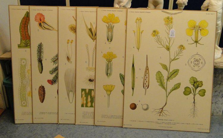 6st äldre skolplanscher, Botanik 77x55cm. Utropspris: 350 SEK. Björnssons auktionskammare