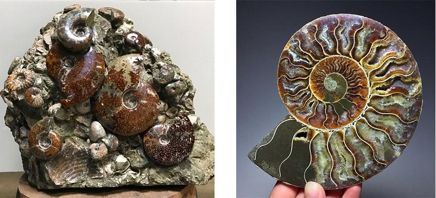 Links: Fossile Ammonite, Madagaskar, Kreide Rechts: Hälfte eines fossilen Ammoniten, Madagaskar