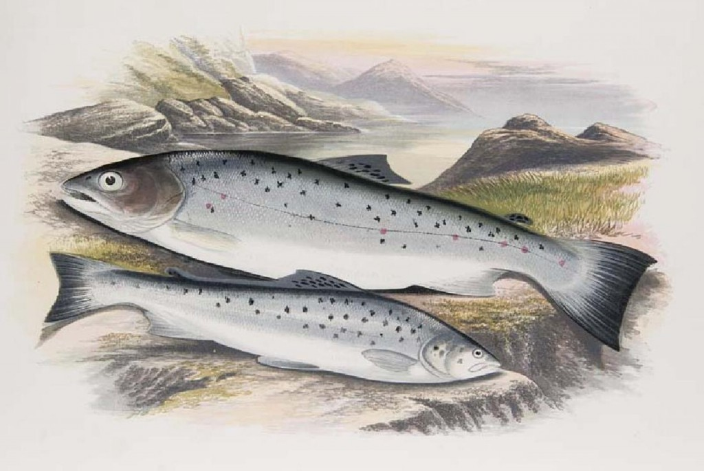 William Houghton - British fresh-water fishes, London, Mackenzie, (1879)