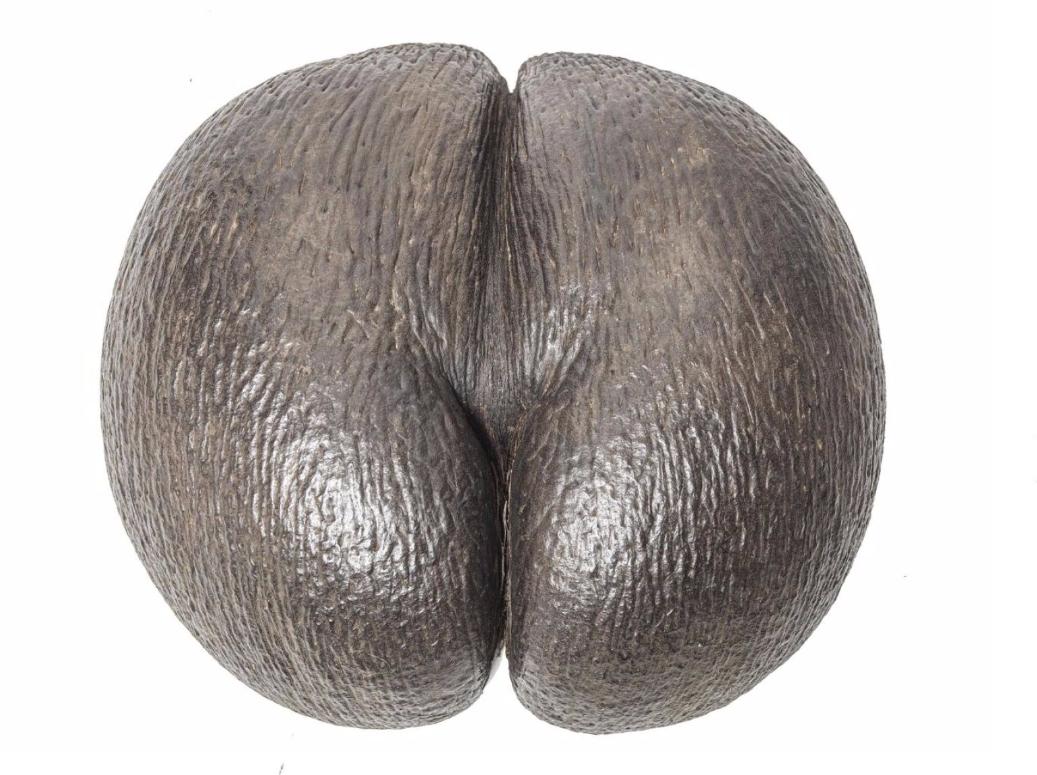 Demi coco-fesse.  Noix de cocotier avec une jolie patine. En vente chez Morand & Morand