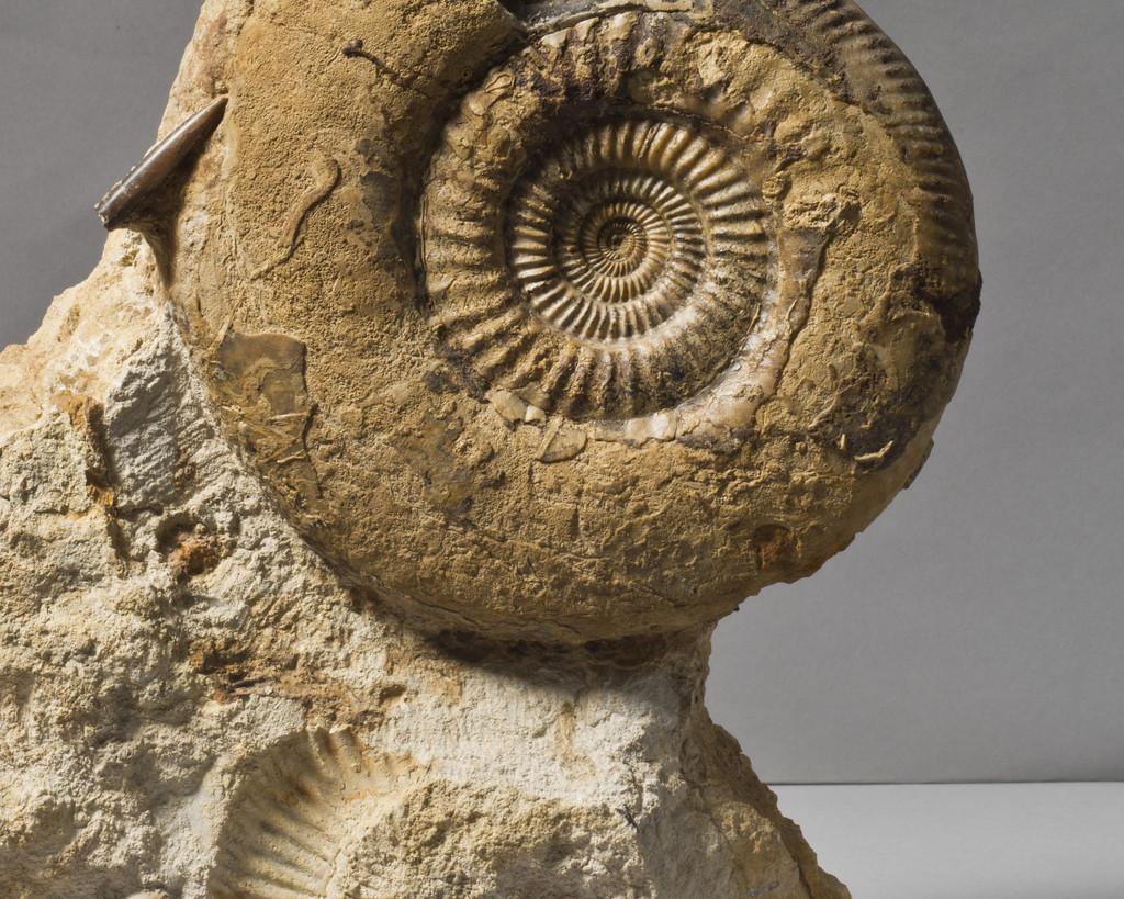 English Ammonite Close-Up