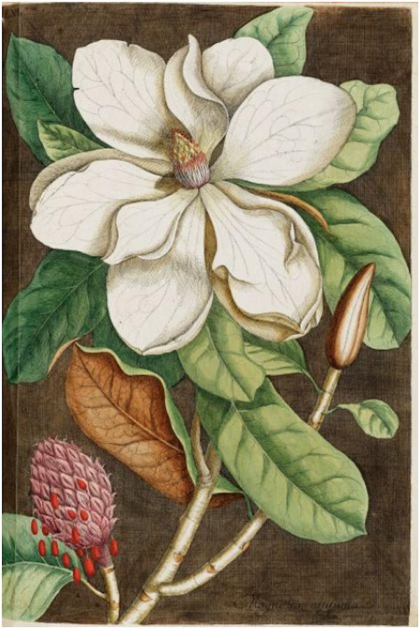 Marcus Catesby - Piscium, serpentum, insectorum aliorumque nonnullorum animalium nec non plantarum quartundam imagines.