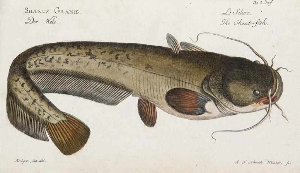 Marcus Elieser Bloch - Ökonomische Naturgeschichte der Fische Deutschlands, Berlin, Selbstverlag, 1783-1785