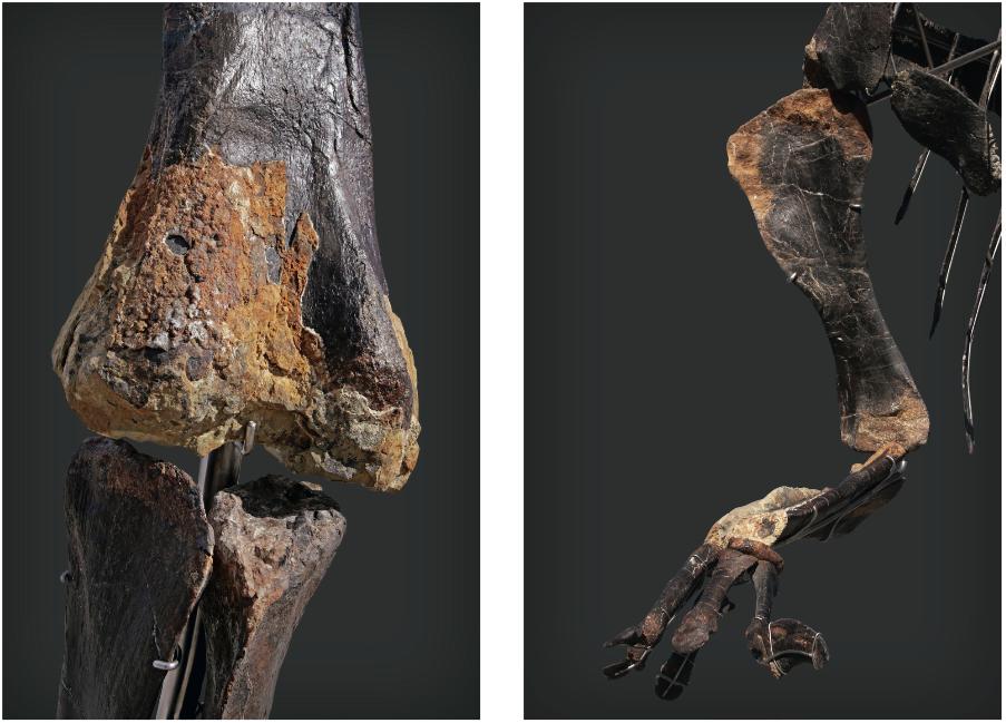 Fragments de peaux visibles sur le squelette SKINNY, image © Aguttes