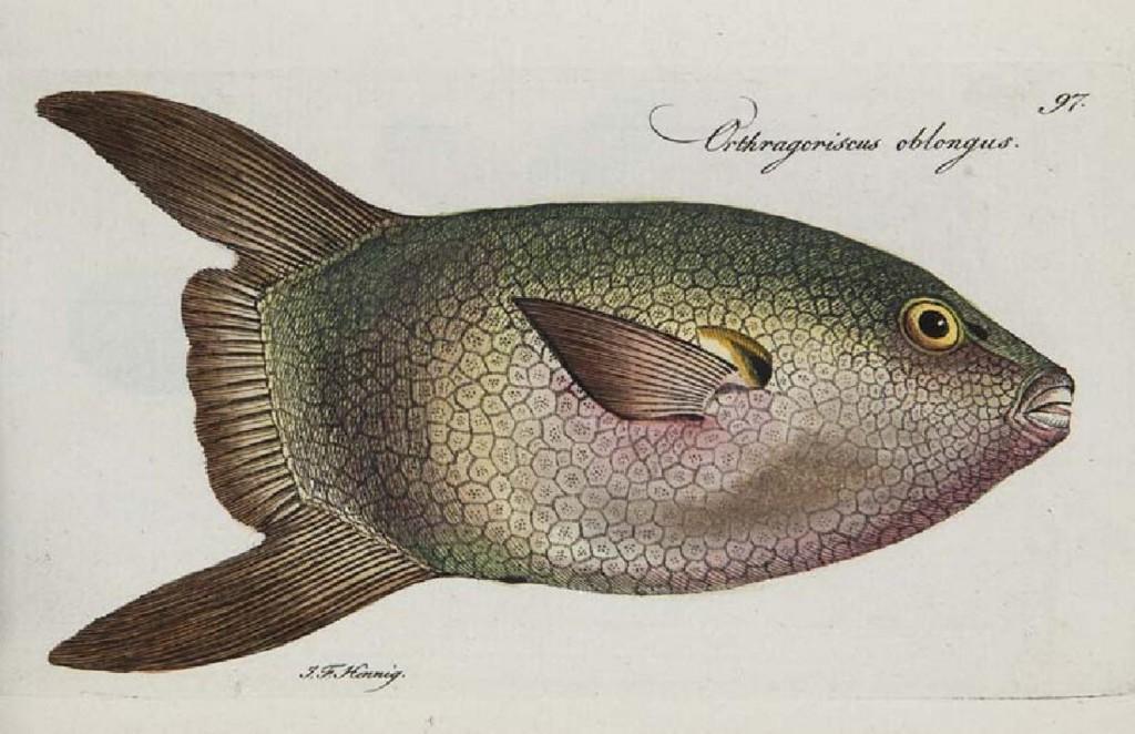 Marcus Elieser Bloch - Systema Ichthyologiae iconibus cx illustratum..., Berlin, Sander, 1801