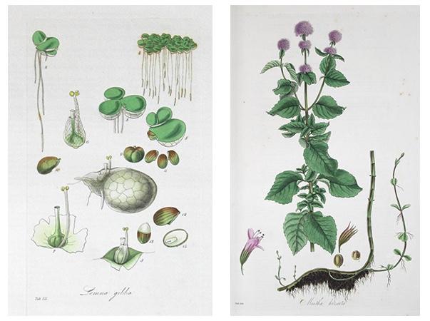 """Zwei kolorierte Kupferstich aus Curtis' """"Flora Londinensis"""""""