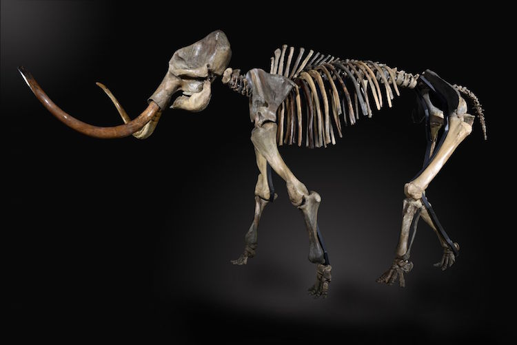 A rare ice age mammoth skeleton. Estimate $236,000 - $394,000 . Photo via Summer's Place Auctions