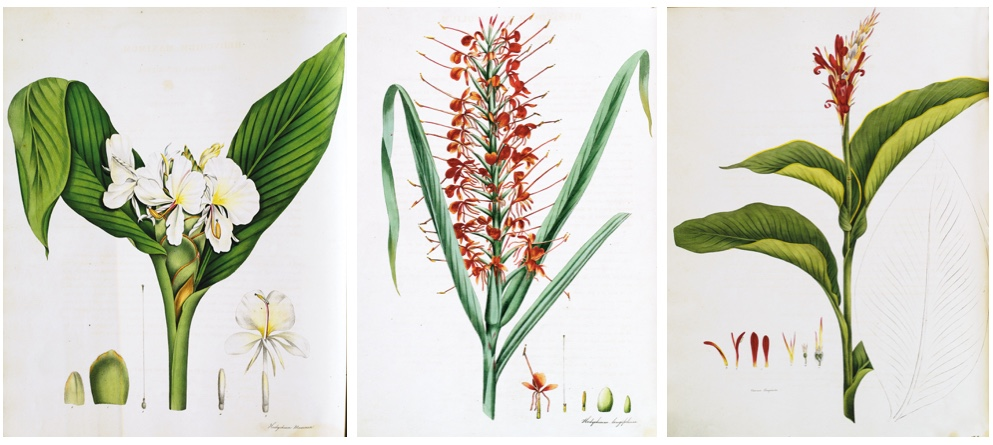 WILLIAM ROSCOE (1753-1831) - Monandrian Plants of the order Scitamineae..., Liverpool, Smith, (1824)-28 Schätzpreis: 8.000 EUR