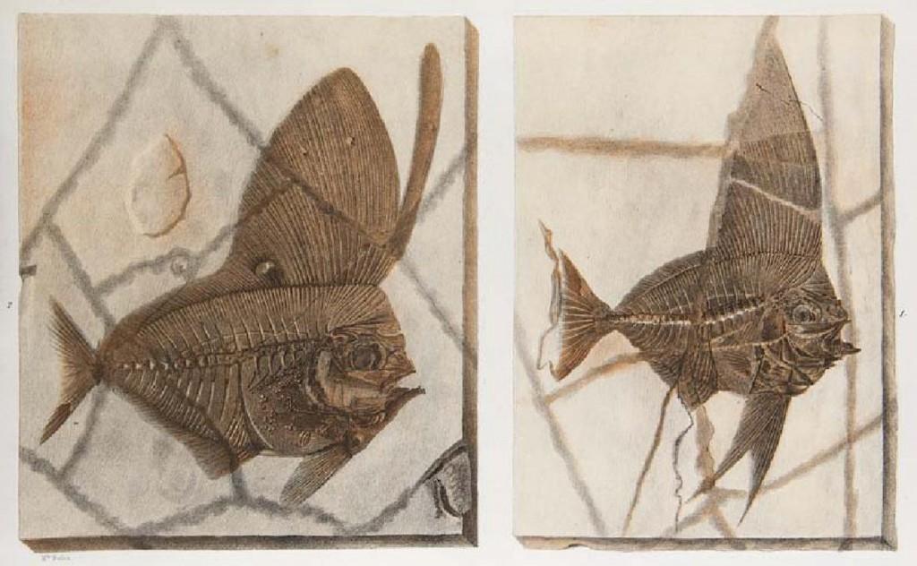 Jean Louis Rodolphe Agassiz - Recherches sur les poissons fossiles, Neuchâtel, Selbstverl., 1833, 1843-1844