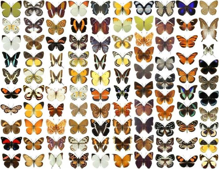Large collection of dry-preserved Exotic Butterflies