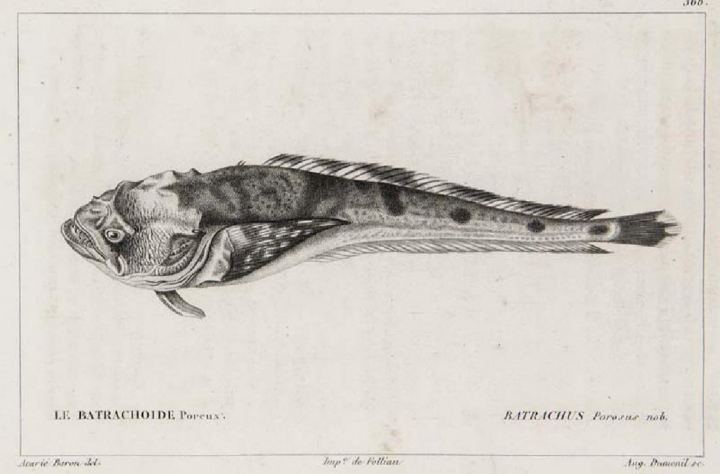 George Cuvier u. Achille Valenciennnes - Histoire naturelle des poissons, Paris, Levrault / Bertrand, 1828-1849