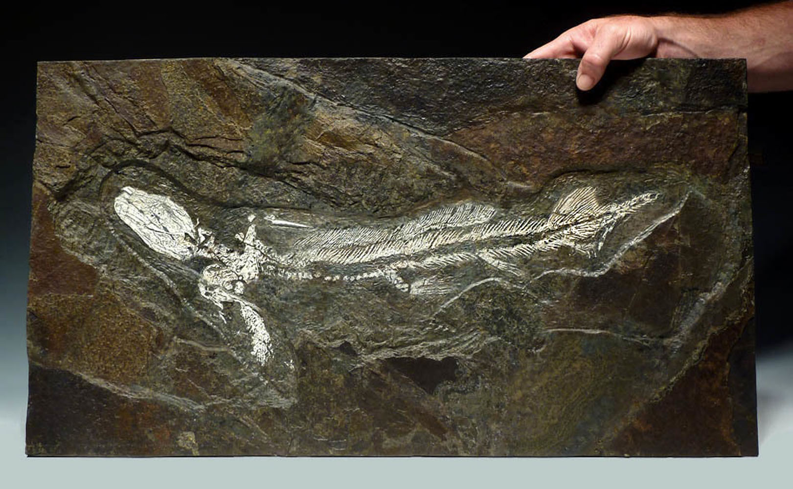 Fossilized prehistoric baby Orthacanthus shark, dating back to the Permian period 260 million years ago (before dinosaurs walked the Earth), discovered in Germany (est. $20,000-$30,000).