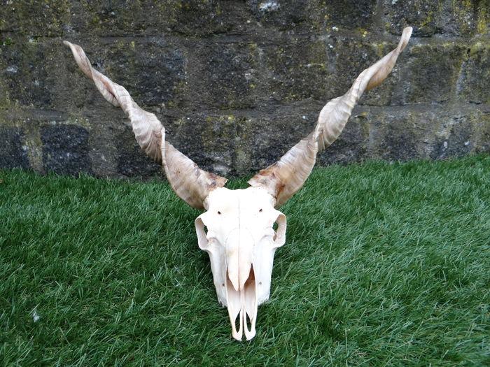 Racka o cráneo de oveja de Valaquia. Ovis aries