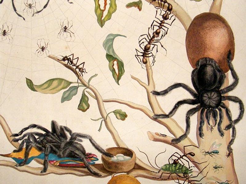 Maria Sibylla Merian, från Metamorphosis, plate 18, visar en hänsynslös bild av naturen och näringskedjan.