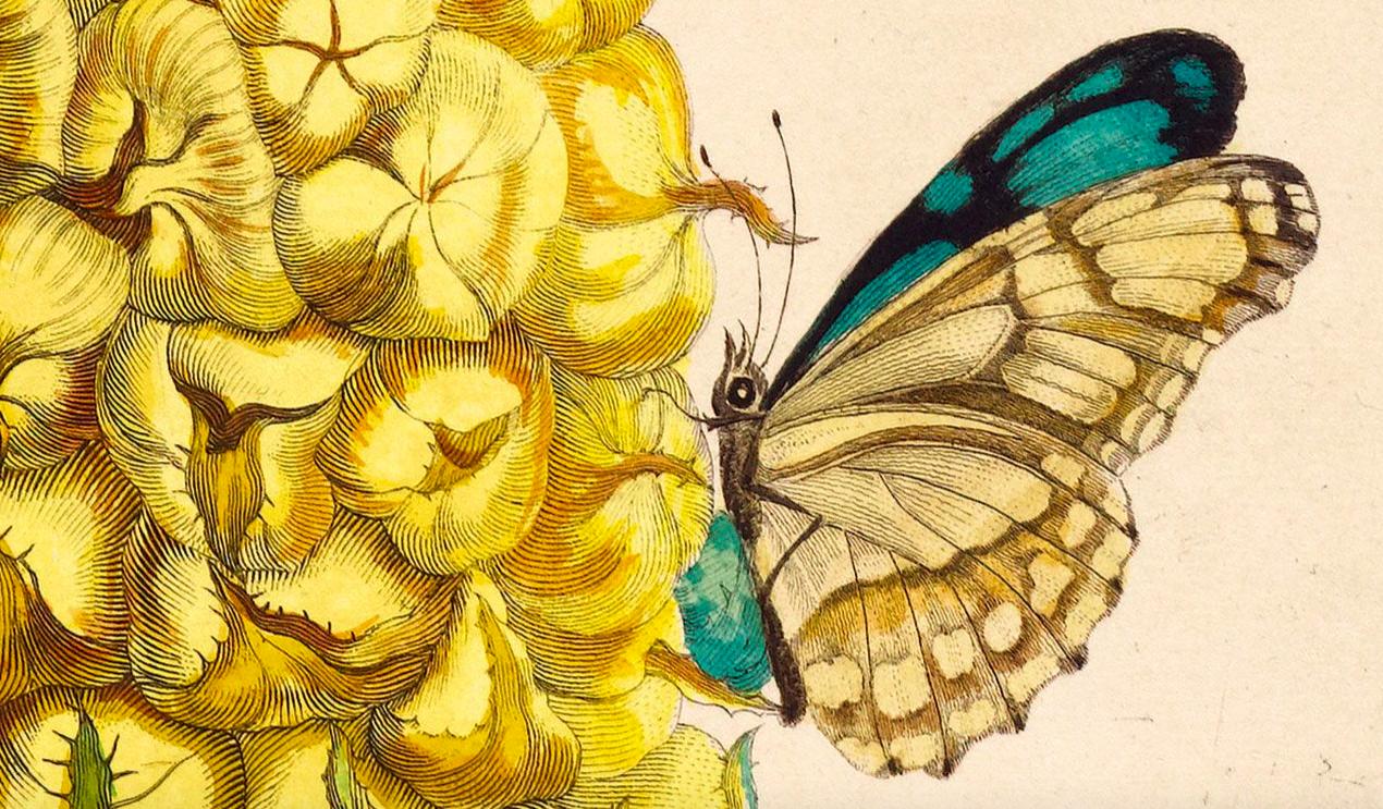 MARIA SIBYLLA MERIAN. Detalle de Dissertatio de generatione et metamorphosibus insectorum Surinamensium. Den Haag. P. Gosse (1726). Imagen vía: Koller