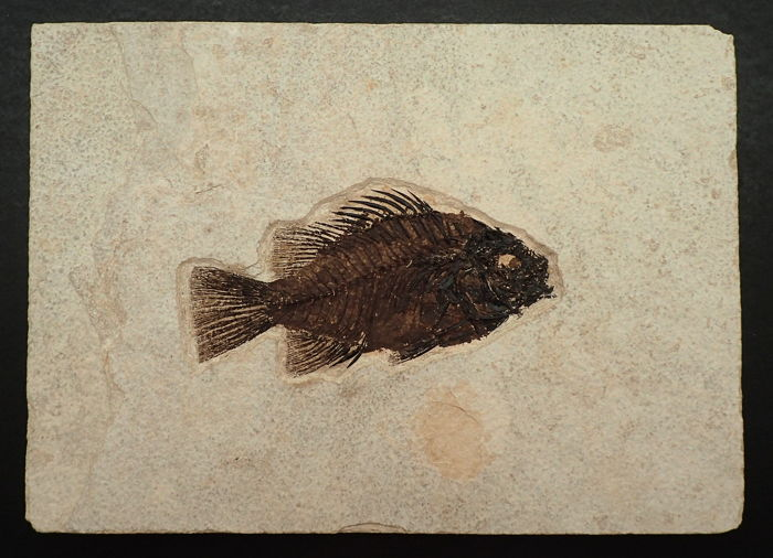 Fossiler Fisch (Priscacara liops), Kemmerer, Wyoming, Eozän