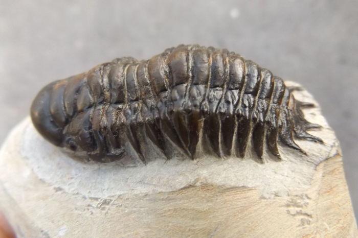 Fossiler Trilobit (Crotalocephalina gibbus), Alnif, Marokko, Mittleres Devon