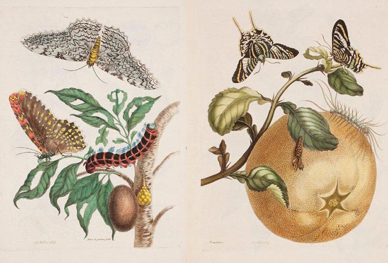 Maria Sibylla Merian, Metamorphosis insectorum Surinamensium, plates 20 och 29